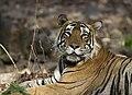 Male Tiger Ranthambhore.jpg