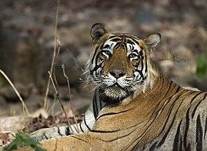 International Tiger Day - Image: Male Tiger Ranthambhore