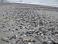 Mamaia Shell Beach1.JPG