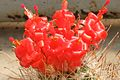 Mammillaria poselgeri pm1.jpg