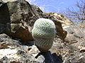 Mammillaria supertexta (5758478525).jpg