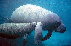 Manatee with calf.PD - colour corrected.jpg