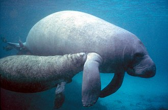 West Indian manatee - Adult with calf