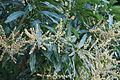 Mangifera indica - Mango IMG 0528 C.JPG