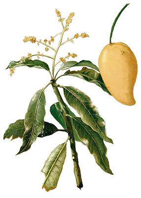 Mangifera sylvatica, Illustration