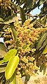 Mango tree in full bloom 01.jpg