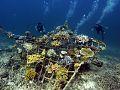 Manta ray Biorock reef.jpg
