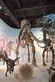 Manzhouli bowuguan.Mammuthus sungari.jpg
