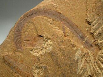Chengjiang County - Chengjiang fossil