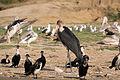 Marabou stork - Queen Elizabeth National Park, Uganda (2).jpg