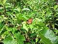 Mariposa Monarca en el Parque de Presqu'ile - panoramio.jpg