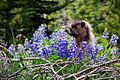 Marmot Peek-a-boo (3169605160).jpg