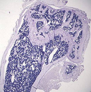 Marrow adipose tissue - Image: Marrow Adipose Tissue (typical quantity young mouse) cropped