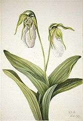 Pale Lady's Slipper (Cypridedium acaule)