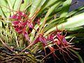 Masdevallia herradurae Orchi 06.jpg