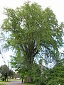 Massachusetts American Elm 2 - May 2012.jpg