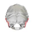 Mastoid border of occipital bone01.png