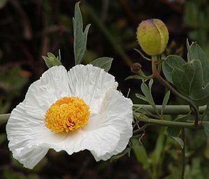 Romneya - Matilija poppy flower and flower bud.