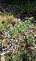 Matricaria discoidea plant (01).jpg