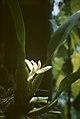 Maxillaria spec (maybe violaceopunctata) - plant.jpg