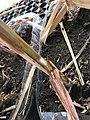 Mealybug in sugarcane.jpg
