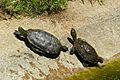 Mediterranean Turtles (Mauremys leprosa) (9177678618).jpg