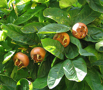 Mespilus germanica - Foliage and fruit