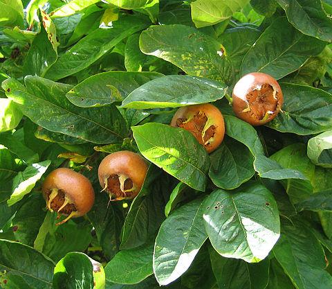 Medlar fruits open-arsed on the tree