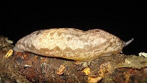 Megapallifera mutabilis