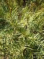 Melaleuca linariifolia 2c.JPG