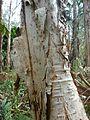 Melaleuca quinquenervia Wyrrabalong NP 1.jpg