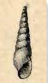 Melanella conoidea 001.png