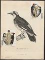 Melanerpes formicivorus - 1700-1880 - Print - Iconographia Zoologica - Special Collections University of Amsterdam - UBA01 IZ18700403.tif