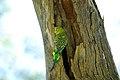 Melopsittacus undulatus -Alice Springs Desert Park-8.jpg