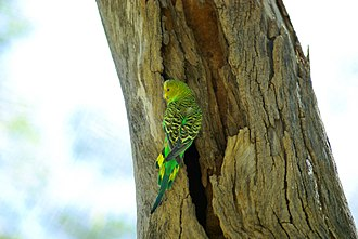 Budgerigar - Female budgerigar at Alice Springs Desert Park