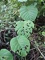 Merremia peltata leaves.jpg