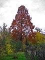 Metasequoia glyptostroboides 002.JPG