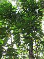 Michelia champaca (Champak) tree in RDA, Bogra 01.jpg
