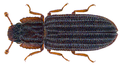 Microprius rufulus (Motschulsky 1863) (29880974343).png