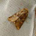 Middle-barred Minor. Oligia fasciuncula - Flickr - gailhampshire (2).jpg