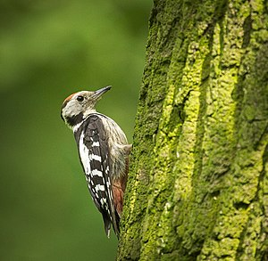 Middle spotted woodpecker (28720316325).jpg