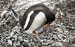 Mikkelsen Harbour-2016-Trinity Island (D'Hainaut Island)–Gentoo penguins (Pygoscelis papua) 04.jpg