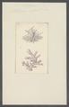 Millepora informis - - Print - Iconographia Zoologica - Special Collections University of Amsterdam - UBAINV0274 111 07 0027.tif