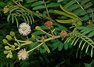 Mimosa - Mimosa pigra in Bogor, West Java, Indonesia