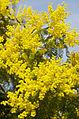 Mimosa (Acacia) (3364010548).jpg