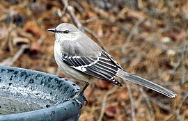 Mimus polyglottos -Krendle Woods, Cary, North Carolina, USA-8.jpg