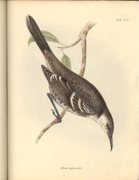 Mimus trifasciatus.jpg