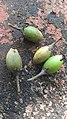 Mimusops elengi fruit.jpg