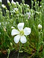 Minuartia laricifolia 610b.JPG