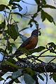 Mirlo Primavera, American Robin, Turdus migratorius (12421143193).jpg